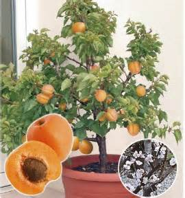 arbres fruitiers nains jacques briant plantes en ligne