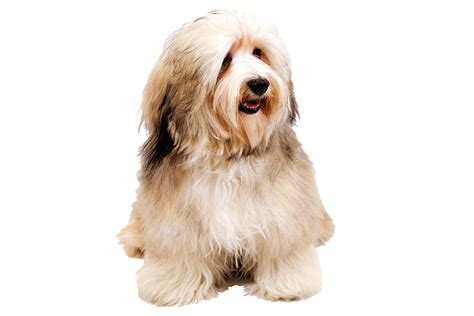 types of havanese 15 types of small breeds that don t shed they are for with