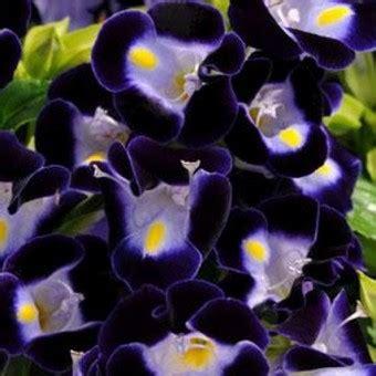 20 Benih Biji Bunga Blue Chicory benih torenia kauai blue 15 biji non retail bibitbunga