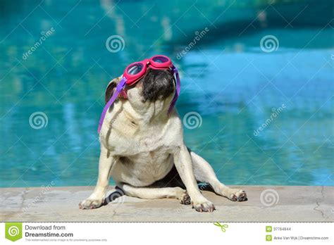 pug goggles pug with goggles stock images image 37764844