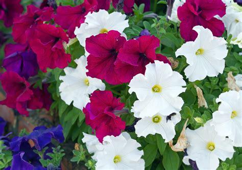 petunien pflanzen ab wann petunien 187 wann ist bl 252 tezeit