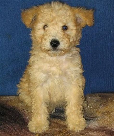 pumi puppies for sale photos 75 best pumi images on pumi breeds and photos