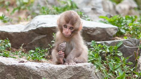 monkey wallpaper for walls adorable baby japanese macaque full hd wallpaper and