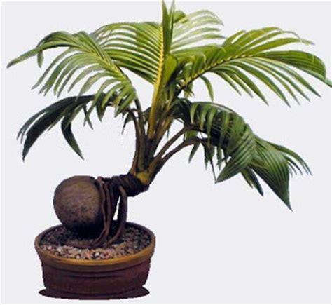 jual bonsai kawista kawis bonsai