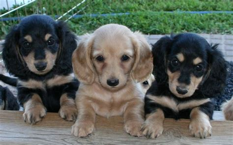 solid blue dachshund puppies for sale puppy dogs dachshund puppies