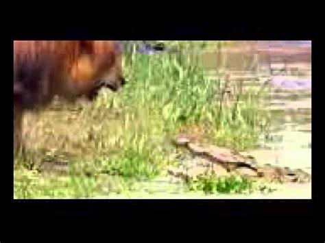 film ular vs singa singa vs buaya lion vs crocodile youtube