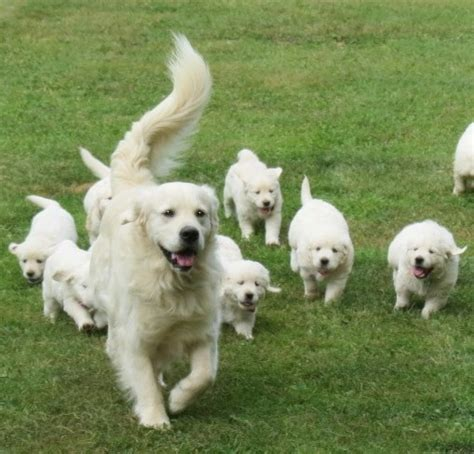 white golden retriever california white golden retriever puppies for sale pets4you