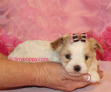 yorkie puppies for sale utah teacup yorkies for sale in western ky breeds picture