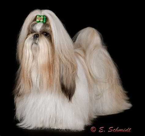 shih tzu conditioner the results after bathing are amazing k 9 c o m p e t i t i o n state of the