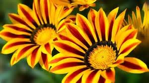 Flowers Images - gazania flower wallpaper images of flowers images flower