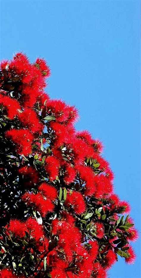 93 best pohutukawa new zealand s christmas tree images on