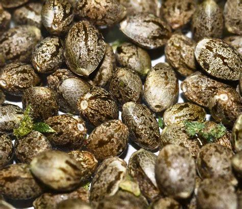 wholesale seed bulk autoflower seeds