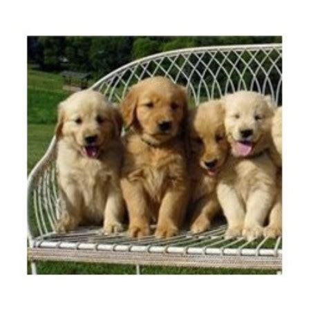 golden retriever breeder md d s golden delights golden retriever breeder in conowingo maryland
