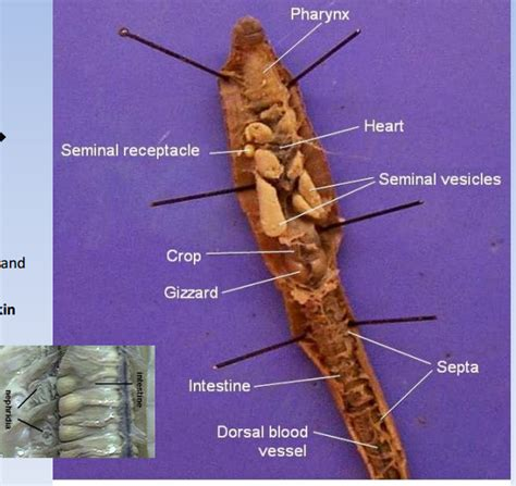 earthworm dissection quizlet image gallery lumbricus anatomy