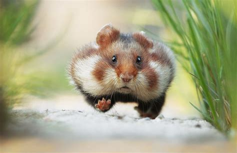 hamster with julian rad european hamster that s a living hamster