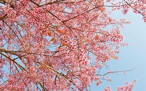 ciliegio in fiore ciliegio in fiore d inverno ecco perch 233 pollicegreen