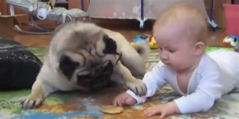 pugs and babies pug wants to this baby s cookie and eat it huffpost