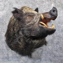 russian boar shoulder mount 11805 the taxidermy store