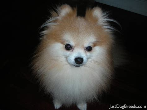 pomeranian large breed topaz pomeranian breeds