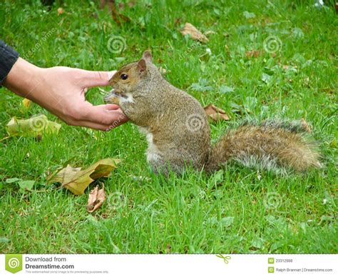hand feeding a squirrel royalty free stock photos image