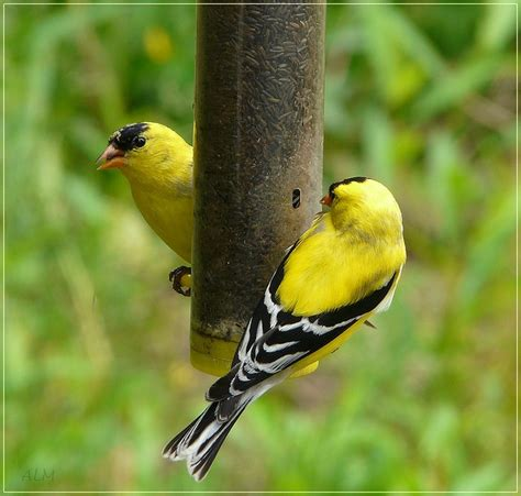 1000 images about birds goldfinches on pinterest