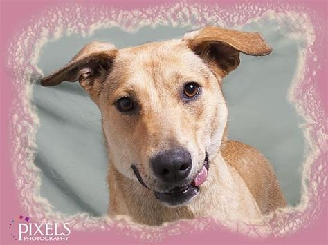 puppies for adoption omaha ne 17 best images about dogs needing homes on adoption pit bull mix and