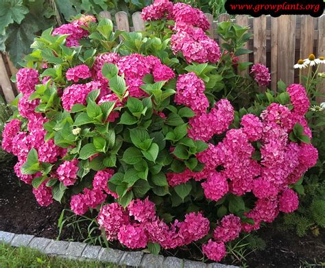 Hydrangea Planter by Hydrangea Macrophylla Growing Grow Plants