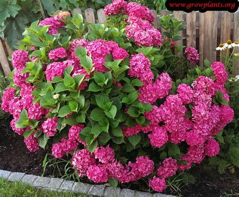 Buy Planters by Hydrangea Macrophylla Growing Grow Plants
