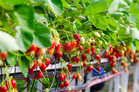 fraisier 239 s culture et entretien du fraisier 239 s ooreka
