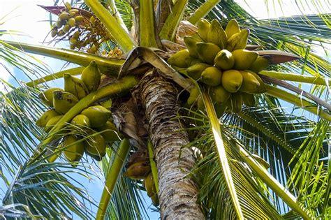 free photo coconut palm tree tropical free image on pixabay 796007