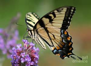 Blue Yellow Duvet Cover Eastern Tiger Swallowtail Butterfly Photograph By Karen Adams