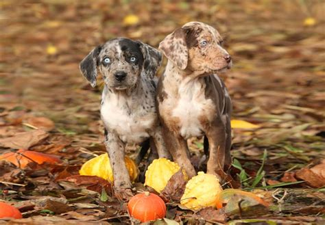 catahoula puppies for sale catahoula leopard puppies for sale akc puppyfinder