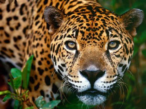 el jaguar jaguar s blog el jaguar regres 211 parque tayrona est 193 vivo y dando vida