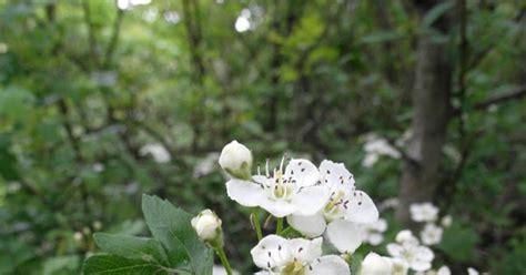 fiori piccoli bianchi il nome dei fiori fiori di biancospino piccoli e bianchi