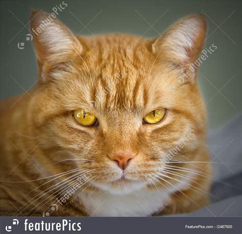 orange tabby cat stock image   featurepics
