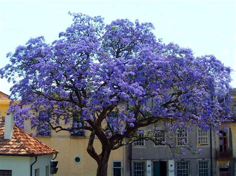fast growing flowering shrubs uk 25 best ideas about trees with purple flowers on