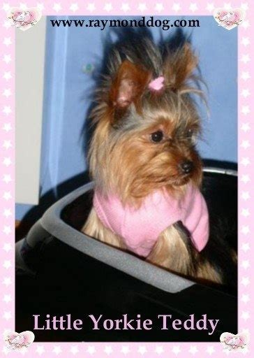 yorkie knee problems 14 best images about yorkie on hair dogs for sale and yorkie