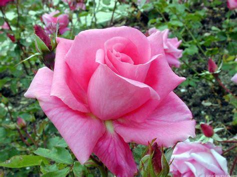 imagenes de flores rosas image gallery imagenes flores y rosas