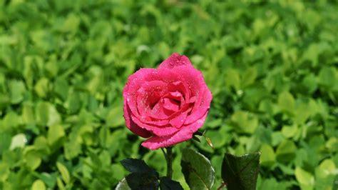 wallpaper bunga merah get hd wallpaper wallpaper bunga mawar merah