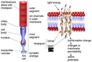 rods in the retina are the receptors for color rhodopsin visual purple