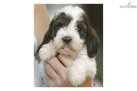 pbgv puppies for sale petit basset griffon vendeen puppy for sale near richmond virginia a6657ce8 c5c1