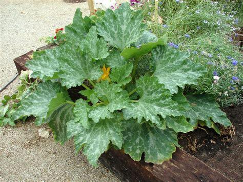 Garden Zucchini Zucchini Or Courgette Cucurbita Pepo Arizona Vegetable