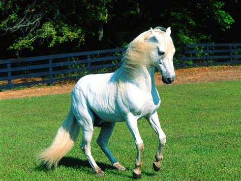 Nice Hourse by Nice Pictures White Horses Wallpapers