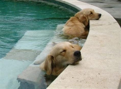 dogs in pool vip pool service southwest florida s premiere service pool spa and