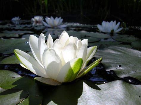 significato ha il fiore di loto significato loto significato dei fiori conoscere il