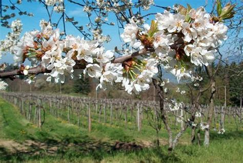 piante primaverili fiorite fioriture primaverili gli alberi da frutto pollicegreen