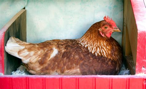 how much room does a chicken need how much room do chickens need backyard poultry