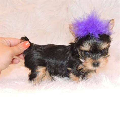 teacup yorkie breeders in sc pin teacup yorkie puppies for saletiny on