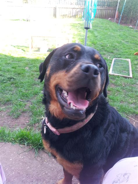 lifespan of rottweiler dogs rottweiler dogs breed information omlet
