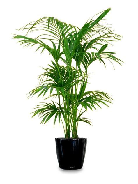 top indoor plants best 25 large indoor plants ideas on pinterest plants